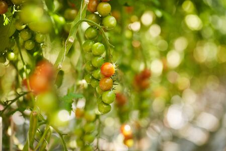 Close-up of green and light red fruits of cherry tomato plant growing on plantation