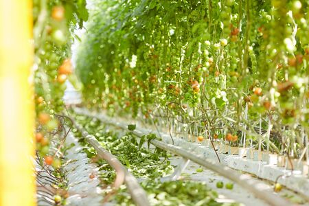 Pipeline between rows of tomato plantations growing in greenhouse, copy space