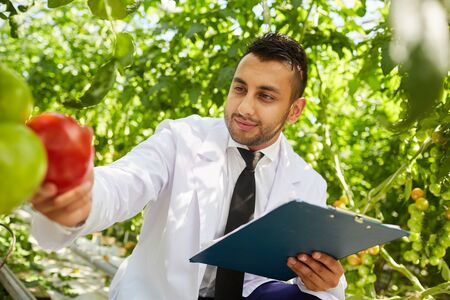 Zufriedener gutaussehender Botaniker aus dem Nahen Osten im weißen Kittel, der zwischen Pflanzen sitzt und reife Tomaten von der Pflanze pflückt