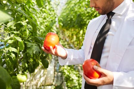 Close-up of serious male horticulture agronomist standing in greenhouse and analyzing size of tomatoes