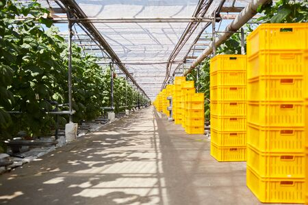 Stacks of yellow boxes with harvested crops placed in contemporary greenhouse