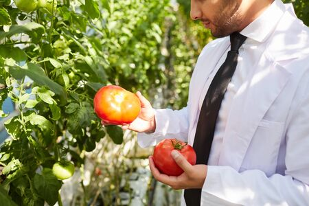 Close-up of busy scientist in white coat standing on plantation and comparing tomato samples in hothouse