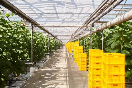 Interior of modern farm with stack of yellow crates by vegetable plants, copy space Stock Photo