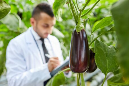 Close-up of aubergine growing on bunch of plant, scientist making notes about cultivation in background Foto de archivo