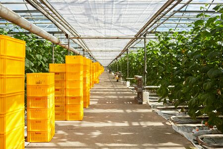 Interior of modern greenhouse full of yellow crates stacking, pipeline system at hothouse Stockfoto