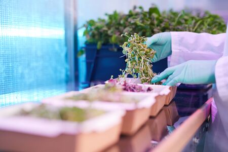 Close up of female worker sorting box of green plants in bio laboratory or nursery greenhouse, copy space