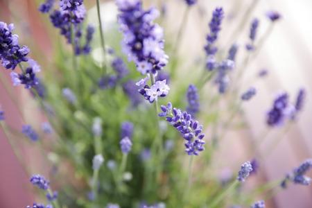 lavandula angustifolia: Lavender - Lavandula angustifolia Stock Photo