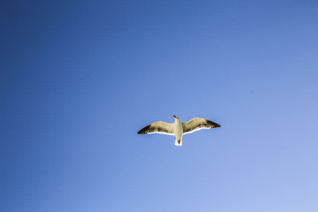 Flying seagull with a cloudless sky