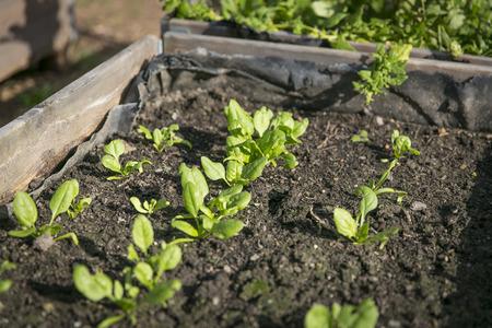 都市の野菜の植物が付いている温室ガーデニング