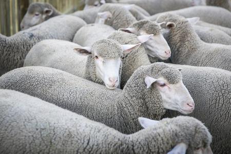 merino: Sheep, Merino sheep in an enclosure