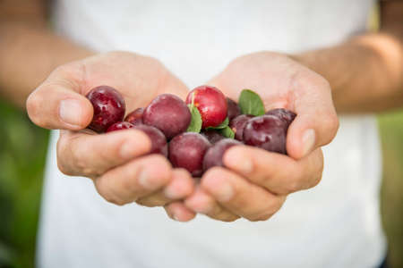 untreated: Hands holding fresh plums Stock Photo