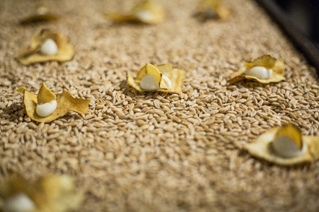 Catering  Gilded chips on wheat