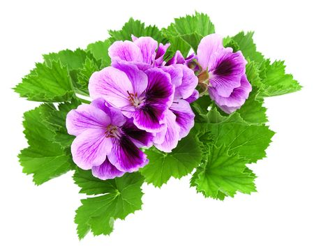 Blossoming house plant with beautiful colours  (Pelargonium)