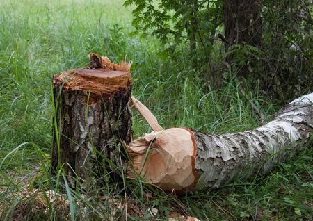 Birch stump and trunk of  birch in  forest glade