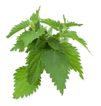armful: Armful of a green nettle on  white a background