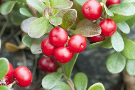 Bearberry (Arctostaphylos) in mature form
