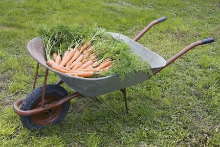 Wheelbarrow filled with ripe carrots