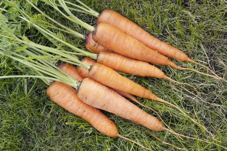 The big heap of carrots with a tops of vegetable Stock Photo - 7998926