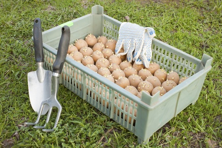 The box with the of seed potatoes on the grass Stock Photo - 9474982
