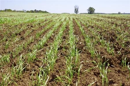 Triebe des Weizens in einem kleinen Feld im Fr�hjahr