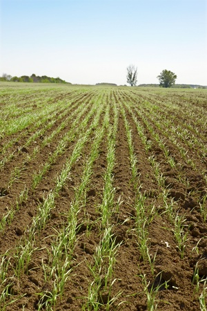 Shoots of wheat in a small field in the spring photo
