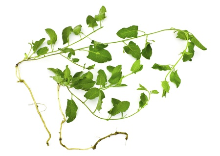 pernicious: A pernicious weed in vegetable garden- field bindweed