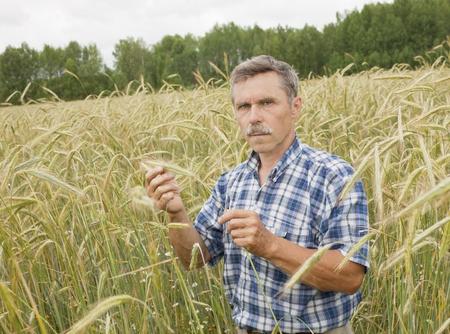 The farmer inspects a field of rye
