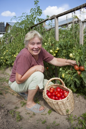 Elderly mistress of a kitchen garden reaps a crop
