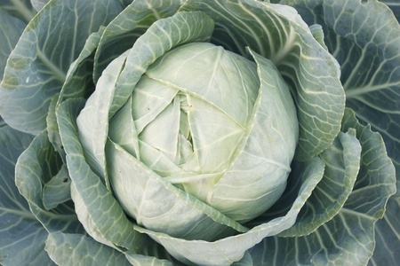 cabbage patch: A head of cabbage on a bed garden
