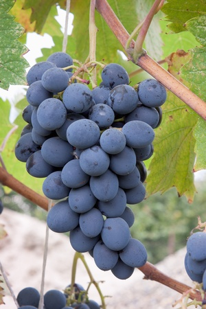 A bunch of black grapes on the plantation