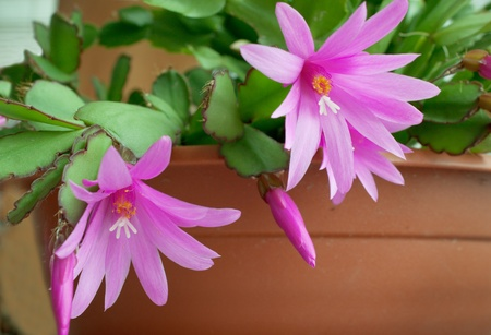 Beautiful flower of the cactus in the room Stock Photo