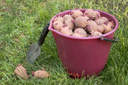 A lot of seed potatoes in a red bucket Stock Photo - 13750651