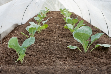Seedlings of cabbage is covered with a cloth in the spring