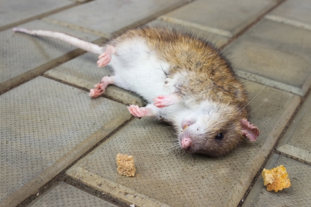 Redhead Rat poisoned by toxic bait lying on the floor