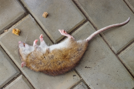 Rat poisoned by toxic bait is on the sidewalk