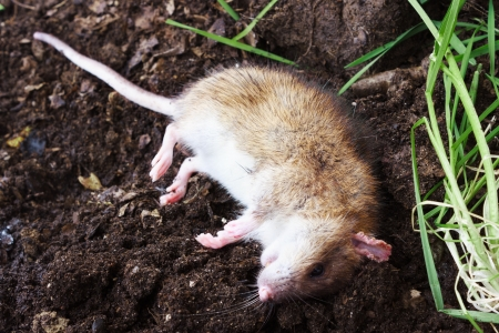dead rat: Redhead poisoned rat lies on the plow