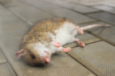 dead rat: Rat, poisoned poisonous smoke lying on the floor