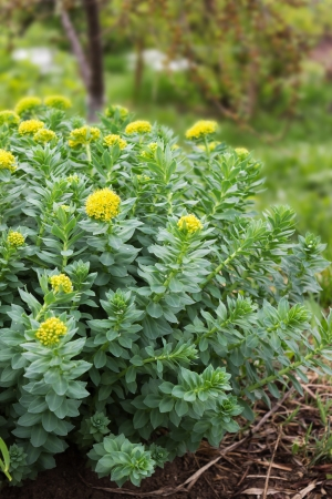 Kwiaty Złoty Korzeń, Roseroot Aaron