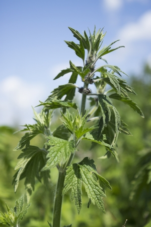 Motherwort begins to bloom in the meadows in June