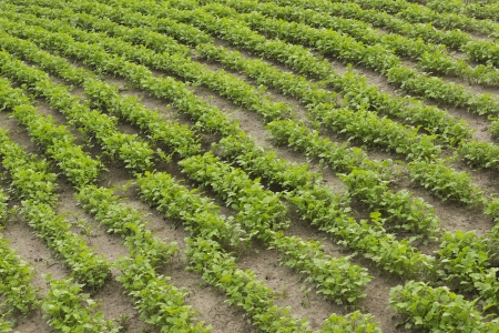 Crops of mustard as a green manurein the garden in summer photo
