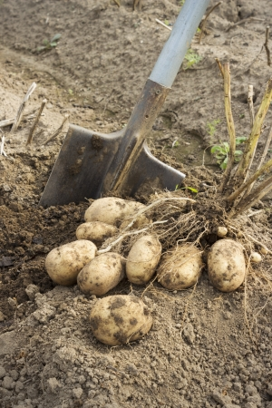 Fresh and raw potato at the field just dug