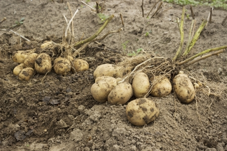 Tubers with two bushes in the potato field Stock Photo