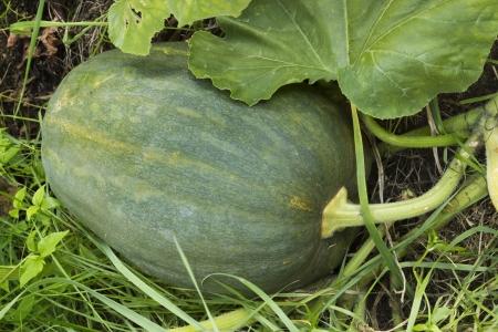 melon field: Dark colored large pumpkin hiding in bushes on melon field