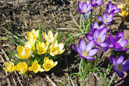 Yellow and purple crocuses in the spring photo