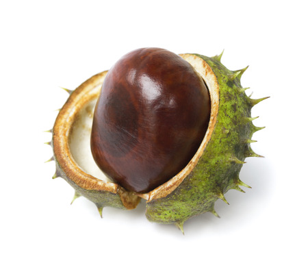 conkers: One horse chestnut lie on a white