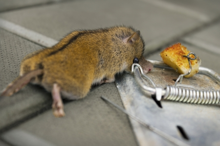The destruction of harmful rodents using mousetrap