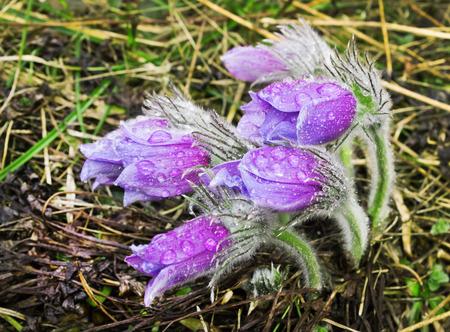 Group pasque-flower during rain. Nature Russia. April photo