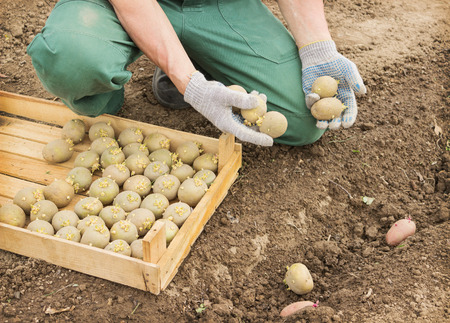 Farmer planting sprouts potatoes in the ground Stock Photo