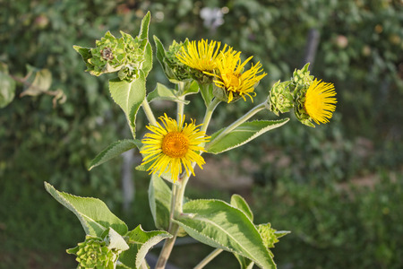 expectorant: Nard yellow flowers on a green background garden in July Stock Photo