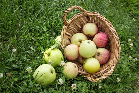 Apples fell from the basket on the grass lawn photo